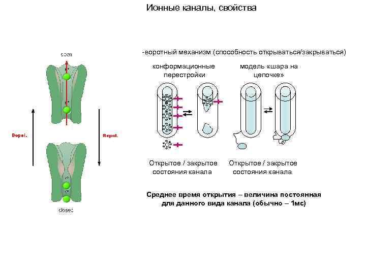 Ионные каналы, свойства -воротный механизм (способность открываться/закрываться) конформационные перестройки Открытое / закрытое состояния канала