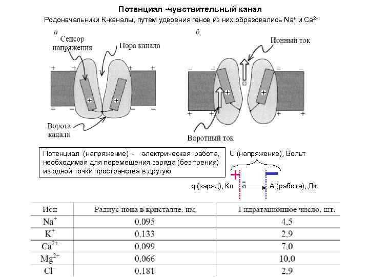 Потенциал -чувствительный канал Родоначальники K-каналы, путем удвоения генов из них образовались Na+ и Ca