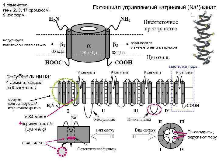 1 семейство, гены 2, 3, 17 хромосом, 9 изоформ. Потенциал управляемый натриевый (Na+) канал