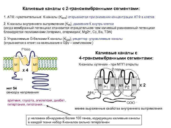 Калиевые каналы с 2 -трансмембранными сегментами: 1. АТФ -чувствительные К-каналы (KATP) открываются при снижении