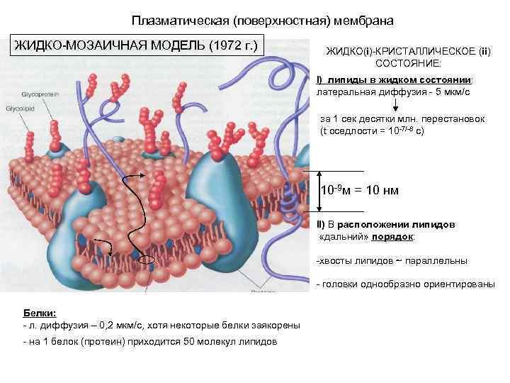 Плазматическая (поверхностная) мембрана ЖИДКО-МОЗАИЧНАЯ МОДЕЛЬ (1972 г. ) ЖИДКО(i)-КРИСТАЛЛИЧЕСКОЕ (ii) СОСТОЯНИЕ: I) липиды в