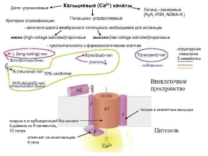 Депо -управляемые Критерии классификации: Кальциевые (Са 2+) каналы Лиганд –зависимые (Ry. R, IP 3