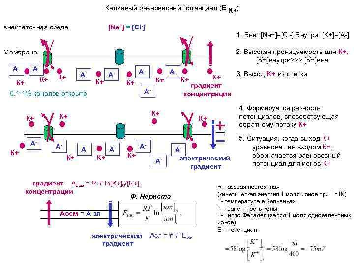 Калиевый равновесный потенциал (E K+) внеклеточная среда [Na+] = [Cl-] 1. Вне: [Na+]=[Cl-] Внутри: