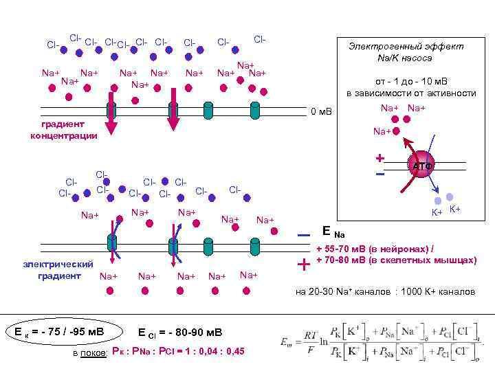 Cl. Na+ Cl- Cl- Na+ Na+ Na+ Cl- Электрогенный эффект Na/K насоса Na+ от