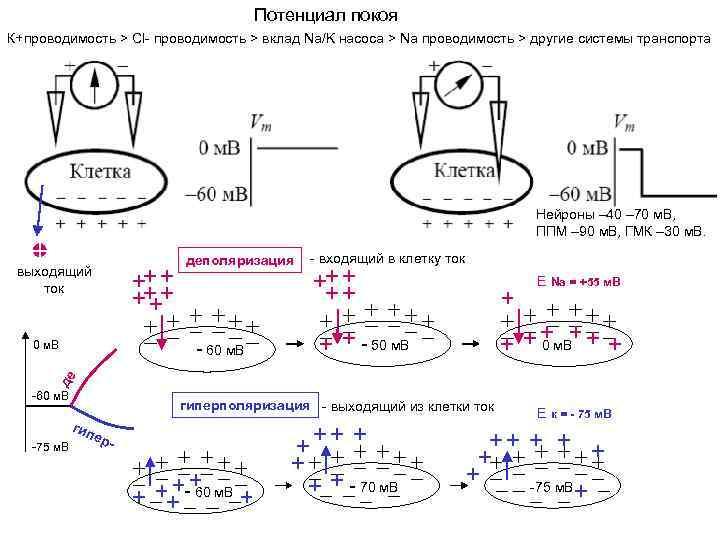 Потенциал покоя К+проводимость > Сl- проводимость > вклад Na/K насоса > Na проводимость >
