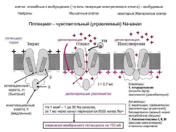 клетки способные к возбуждению ( то есть генерации электрического ответа) – возбудимые Нейроны Мышечные