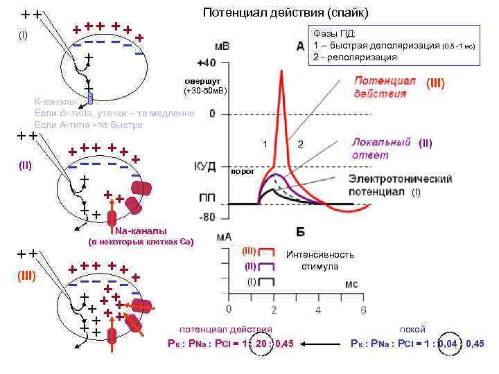 Потенциал действия (спайк) Фазы ПД: 1 – быстрая деполяризация (0. 5 -1 мс) 2