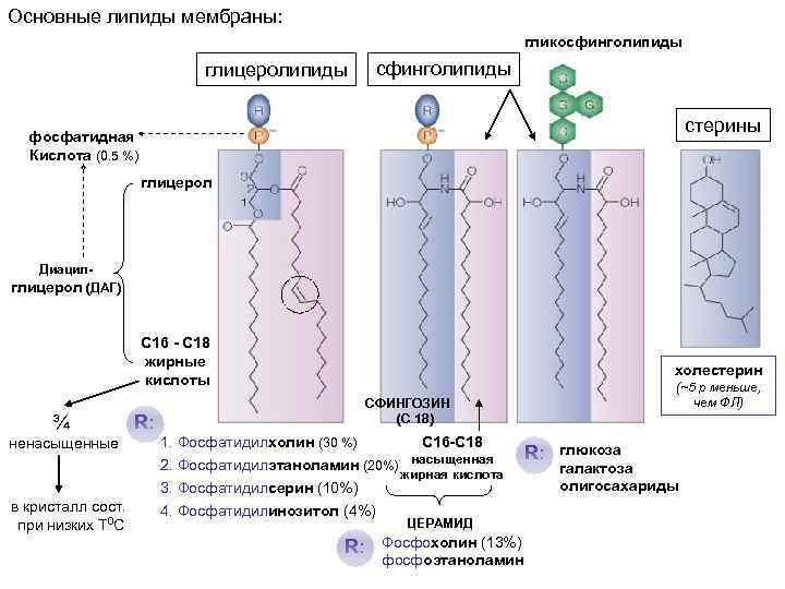 Основные липиды мембраны: гликосфинголипиды глицеролипиды сфинголипиды стерины фосфатидная Кислота (0. 5 %) глицерол Диацилглицерол