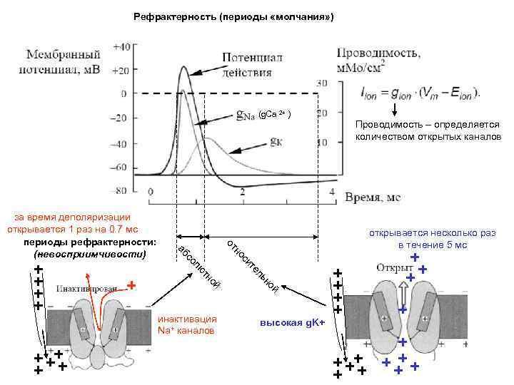 Рефрактерность (периоды «молчания» ) (g. Ca 2+ ) открывается несколько раз в течение 5