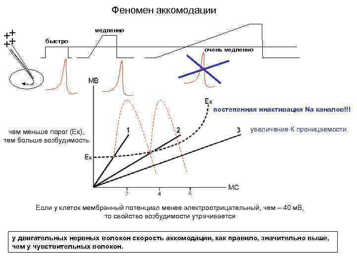 Феномен аккомодации медленно быстро очень медленно постепенная инактивация Nа каналов!!! чем меньше порог (Ек),