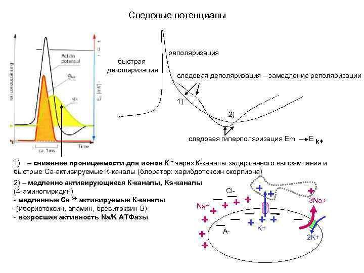 Следовые потенциалы реполяризация быстрая деполяризация следовая деполяризация – замедление реполяризации 1) 2) следовая гиперполяризация