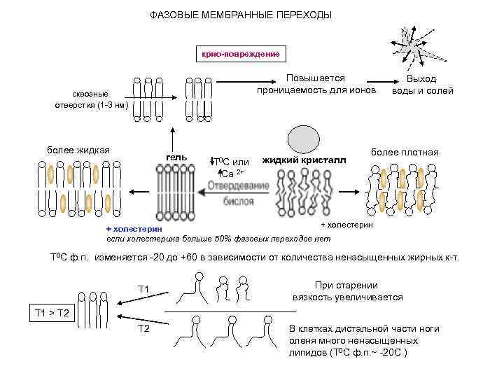 ФАЗОВЫЕ МЕМБРАННЫЕ ПЕРЕХОДЫ крио-повреждение Повышается проницаемость для ионов сквозные отверстия (1 -3 нм) более