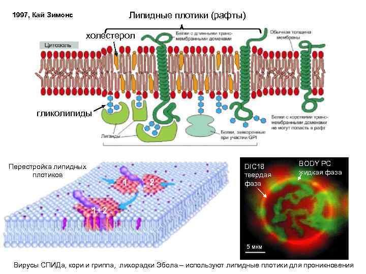 Липидные плотики (рафты) 1997, Кай Зимонс холестерол гликолипиды Перестройка липидных плотиков 1 2 DIC
