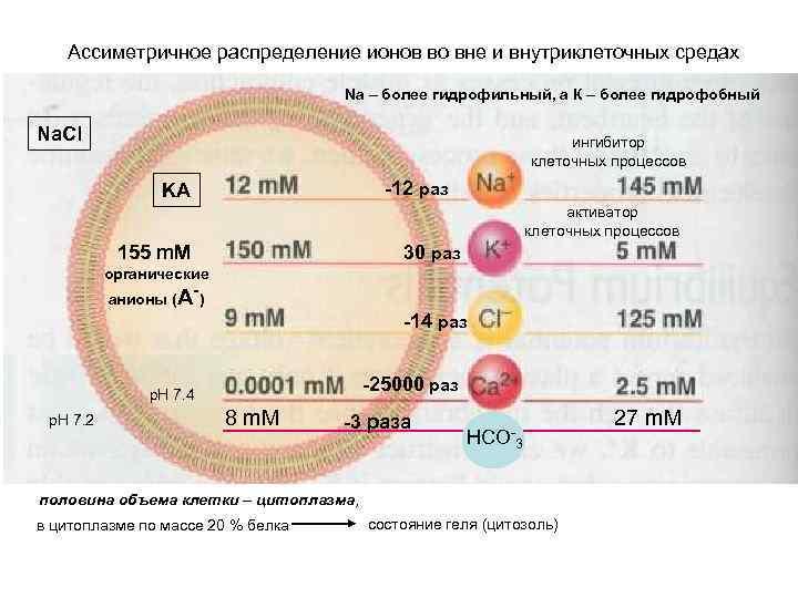 Ассиметричное распределение ионов во вне и внутриклеточных средах Na – более гидрофильный, а К