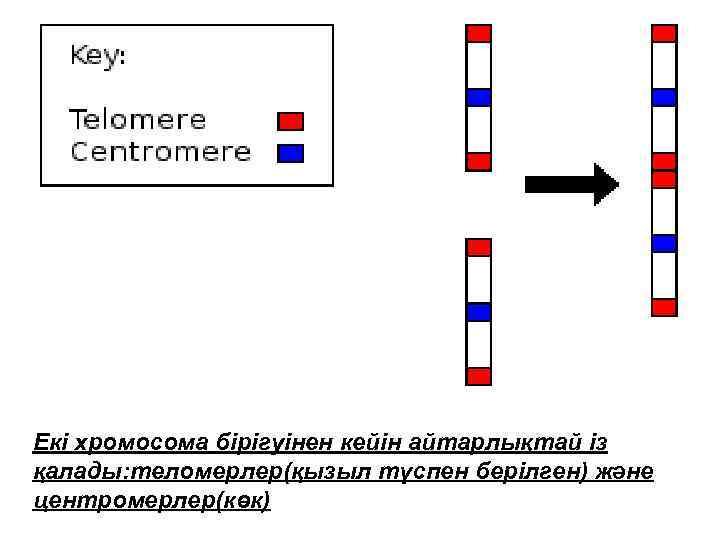 Екі хромосома бірігуінен кейін айтарлықтай із қалады: теломерлер(қызыл түспен берілген) және центромерлер(көк)