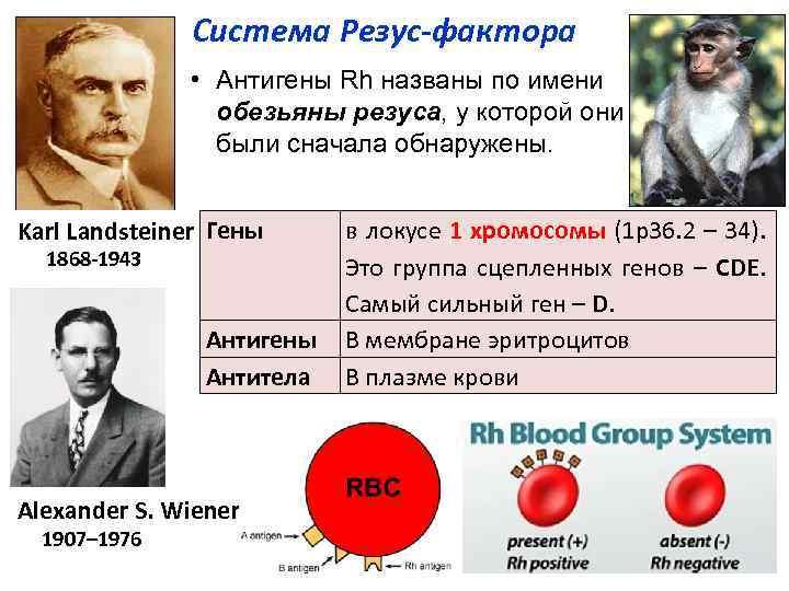 Система Резус фактора • Антигены Rh названы по имени обезьяны резуса, у которой они