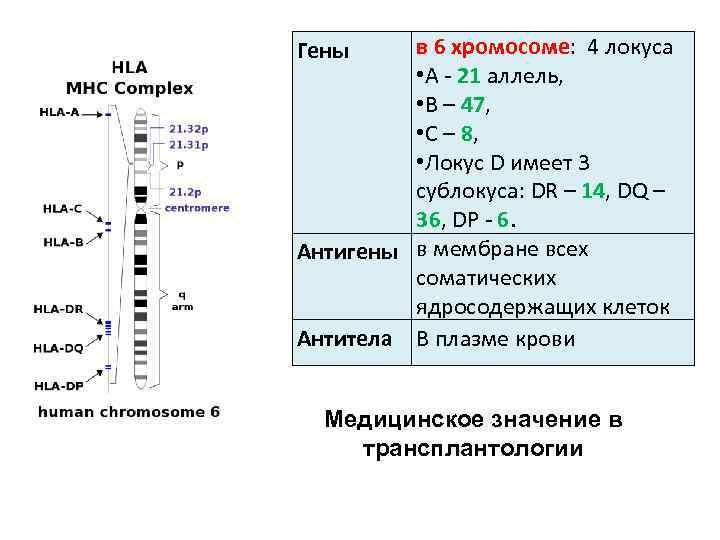 в 6 хромосоме: 4 локуса • А 21 аллель, • B – 47, •