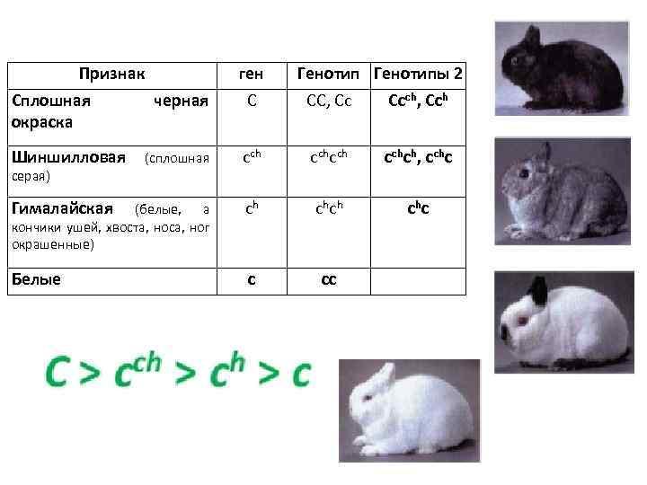 Признак Сплошная окраска ген С СС, Сс Ссch, Ссh (сплошная сchсch сchсh, сchс Гималайская