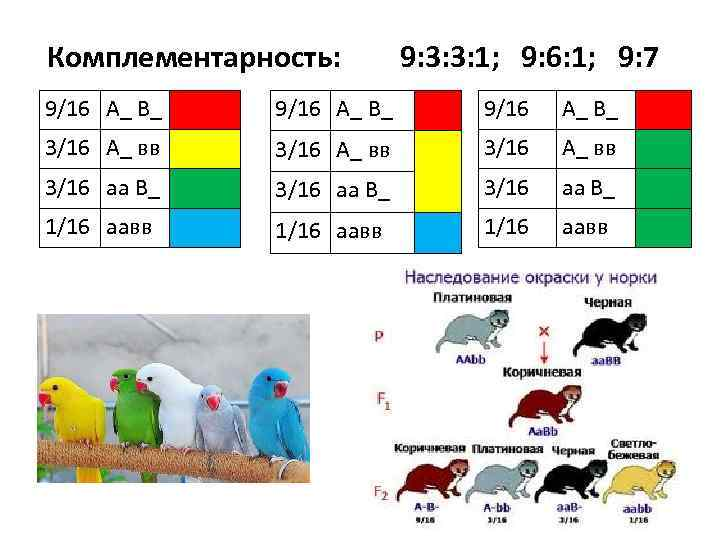Комплементарность: 9: 3: 3: 1; 9: 6: 1; 9: 7 9/16 А_ В_ 3/16