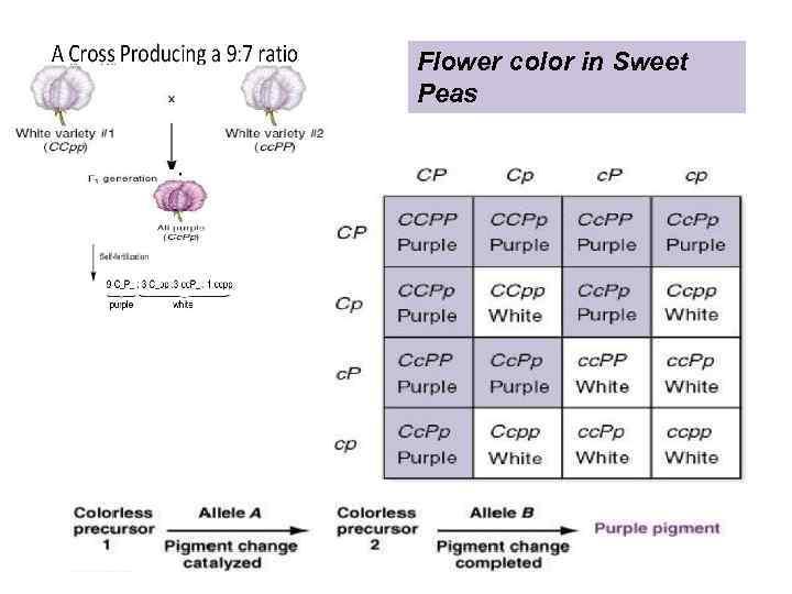 Flower color in Sweet Peas