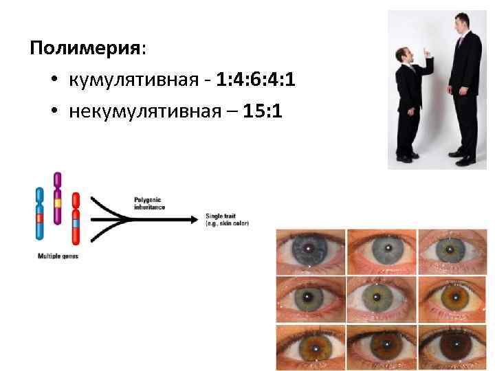 Полимерия: • кумулятивная 1: 4: 6: 4: 1 • некумулятивная – 15: 1