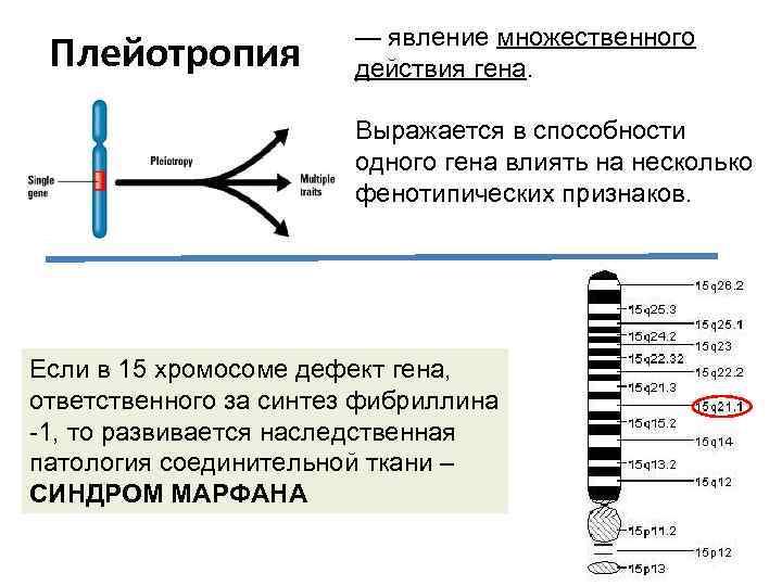 Плейотропия — явление множественного действия гена. Выражается в способности одного гена влиять на несколько