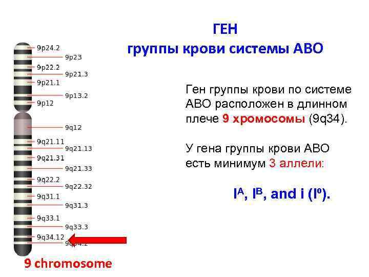ГЕН группы крови системы АВО Ген группы крови по системе АВО расположен в длинном