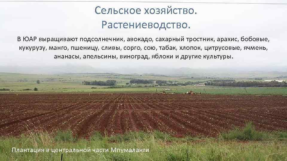 Сельское хозяйство. Растениеводство. В ЮАР выращивают подсолнечник, авокадо, сахарный тростник, арахис, бобовые, кукурузу, манго,