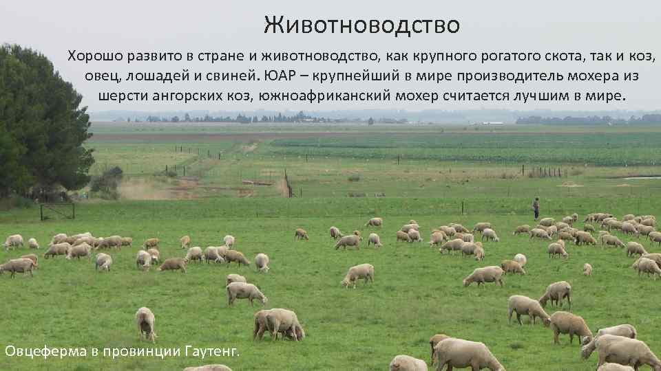 Животноводство Хорошо развито в стране и животноводство, как крупного рогатого скота, так и коз,