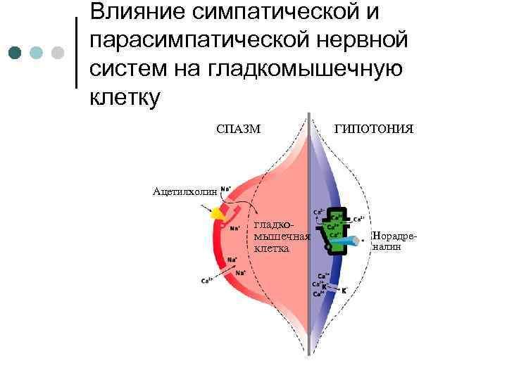 Влияние симпатической и парасимпатической нервной систем на гладкомышечную клетку СПАЗМ ГИПОТОНИЯ Ацетилхолин гладкомышечная клетка