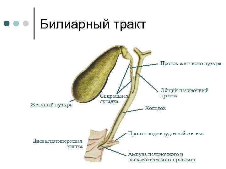 Билиарный тракт Проток желчного пузыря Желчный пузырь Спиральная складка Общий печеночный проток Холедох Проток