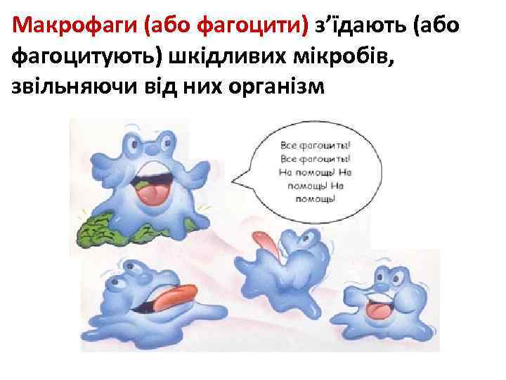Макрофаги (або фагоцити) з'їдають (або фагоцитують) шкідливих мікробів, звільняючи від них організм
