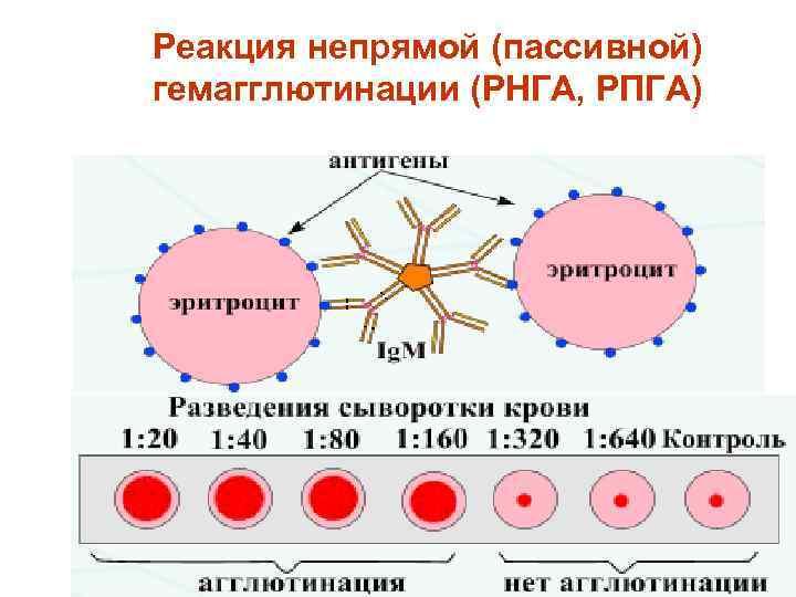 Реакция непрямой (пассивной) гемагглютинации (РНГА, РПГА)