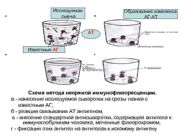 Исследуемая сыв-ка Образование комплекса АГ-АТ АТ Известные АГ Схема метода непрямой иммунофлюоресценции. а -