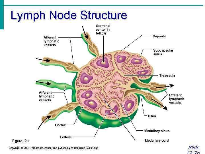 Lymph Node Structure Figure 12. 4 Copyright © 2003 Pearson Education, Inc. publishing as