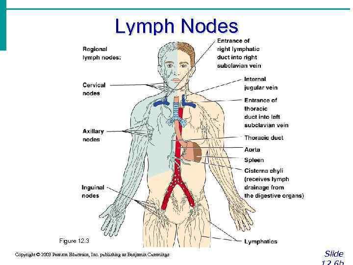Lymph Nodes Figure 12. 3 Copyright © 2003 Pearson Education, Inc. publishing as Benjamin
