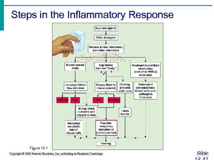 Steps in the Inflammatory Response Figure 12. 7 Copyright © 2003 Pearson Education, Inc.