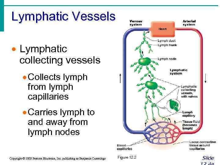 Lymphatic Vessels · Lymphatic collecting vessels · Collects lymph from lymph capillaries · Carries