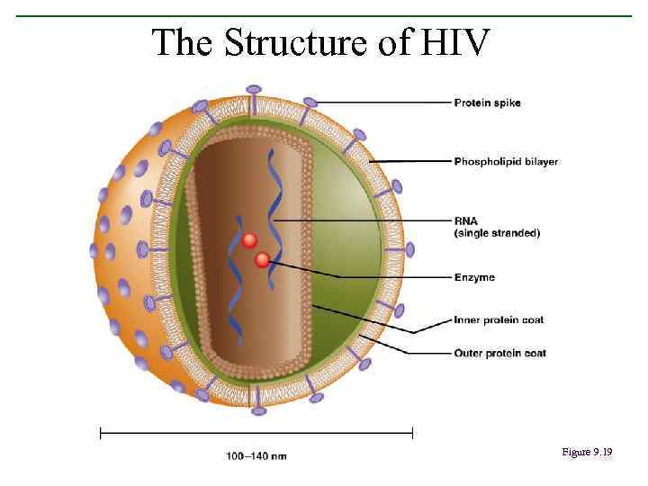 The Structure of HIV Figure 9. 19