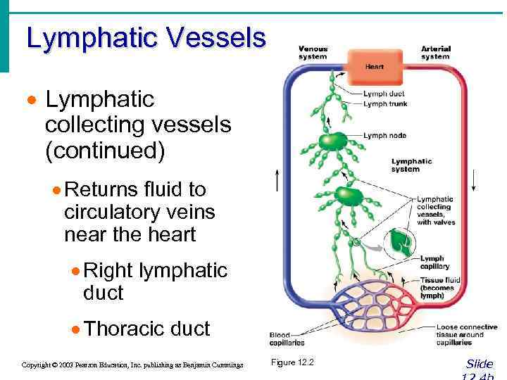 Lymphatic Vessels · Lymphatic collecting vessels (continued) · Returns fluid to circulatory veins near