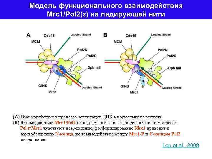 Модель функционального взаимодействия Mrc 1/Pol 2(ε) на лидирующей нити (A) Взаимодействие в процессе репликации