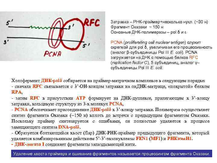 Затравка – РНК-праймер+несколько нукл. (~30 н) Фрагмент Оказаки ~ 150 н Основные ДНК-полимеразы –