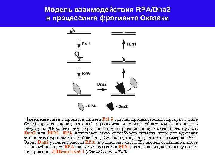 Модель взаимодействия RPA/Dna 2 в процессинге фрагмента Оказаки Замещение нити в процессе синтеза Рol