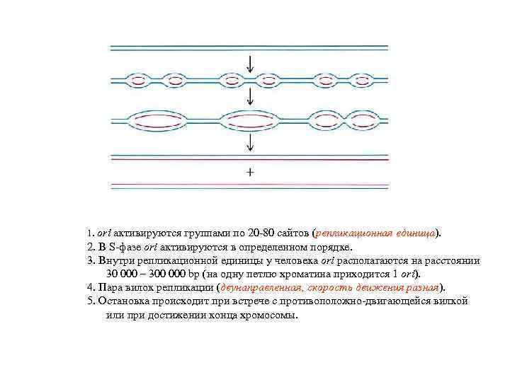 1. ori активируются группами по 20 -80 сайтов (репликационная единица). 2. В S-фазе ori