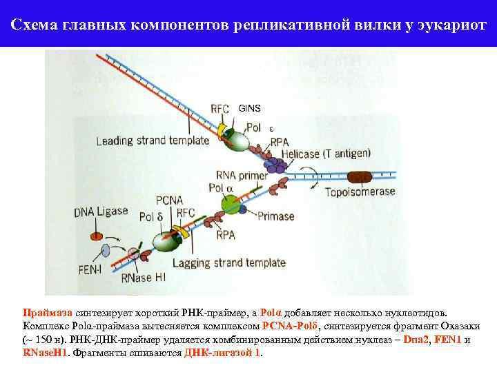 Схема главных компонентов репликативной вилки у эукариот GINS ε Праймаза синтезирует короткий РНК-праймер, а