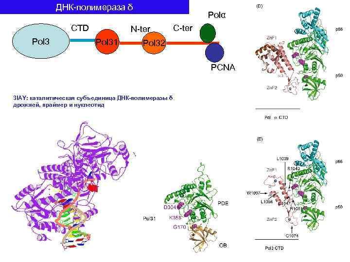 ДНК-полимераза δ CTD Pol 3 Polα N-ter Pol 31 C-ter Pol 32 PCNA 3