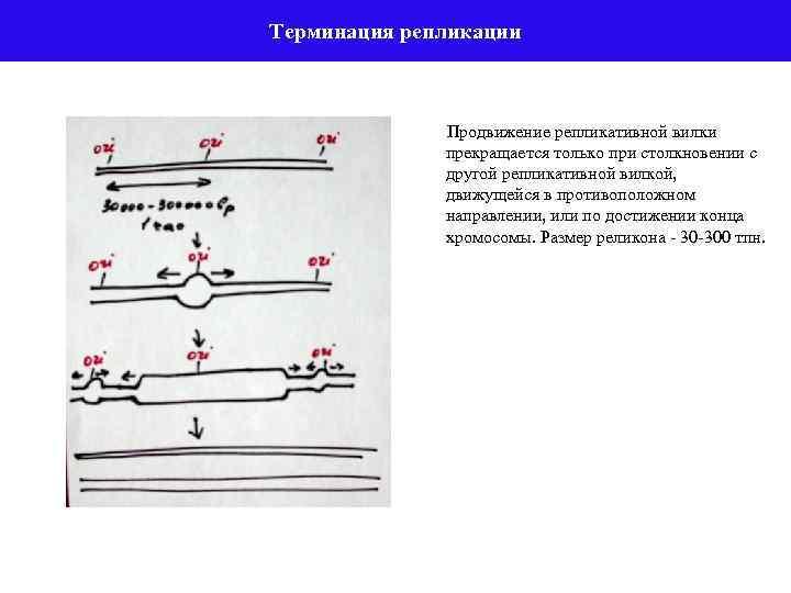 Терминация репликации Продвижение репликативной вилки прекращается только при столкновении с другой репликативной вилкой, движущейся