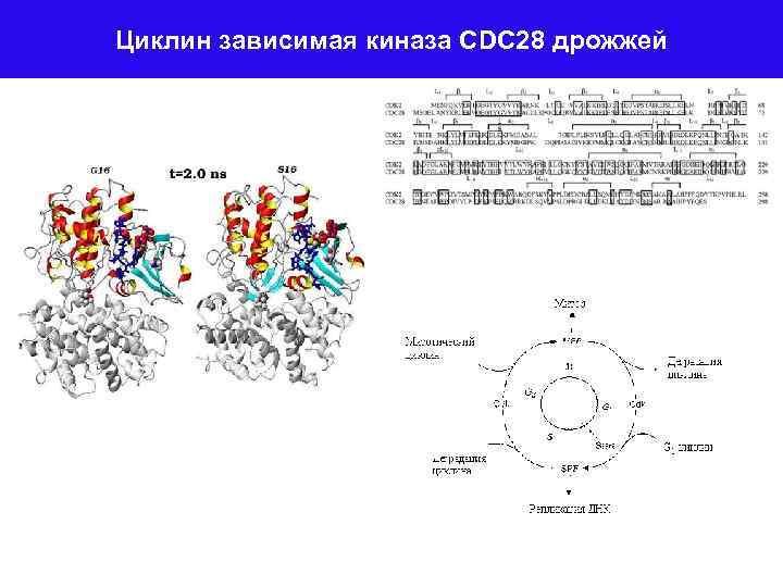 Циклин зависимая киназа CDC 28 дрожжей
