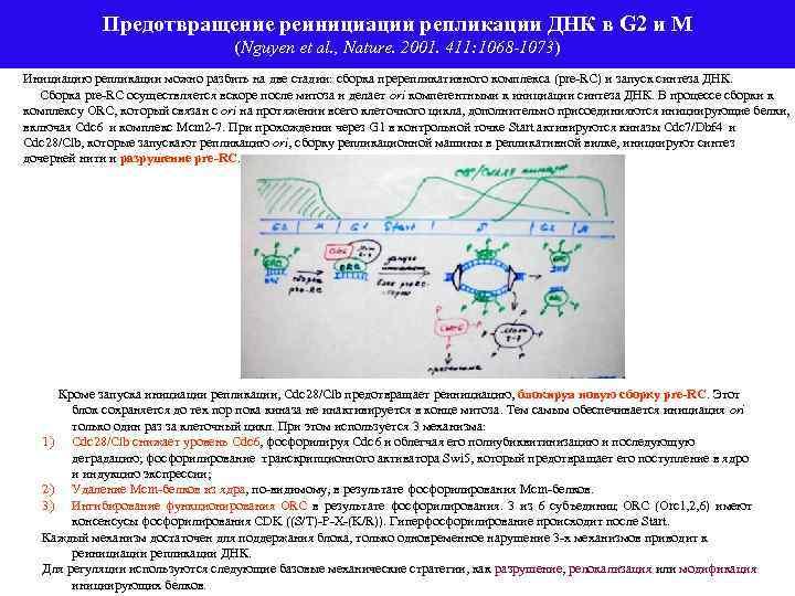 Предотвращение реинициации репликации ДНК в G 2 и М (Nguyen et al. , Nature.