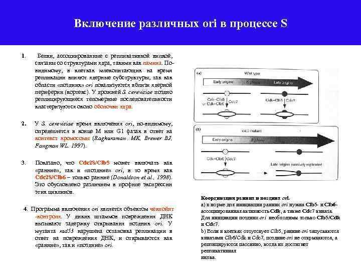 Включение различных ori в процессе S 1. Белки, ассоциированные с репликативной вилкой, связаны со